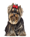 Yorkshire Terrier, 8 months old, sitting Stock Photo