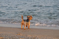 Yorkshire terrier on the beach Royalty Free Stock Photo