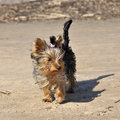 Yorkshire terrier breed on the coast. Royalty Free Stock Photo
