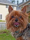 Yorkshire terrier dog closeup this is a cute commonly known as a yorkie with his tongue slightly out and curled sweet pet outdoors Stock Photos