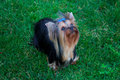 Yorkshire Terrier Dog on the green grass Royalty Free Stock Photo