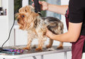 Yorkshire terrier dog in a grooming salon Royalty Free Stock Photo