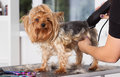 Yorkshire terrier dog on a hairstyle Royalty Free Stock Photo