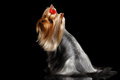 Yorkshire Terrier Dog with long groomed Hair Sits on black Royalty Free Stock Photo