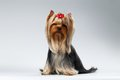 Yorkshire Terrier Dog with long groomed Hair Sits on white Royalty Free Stock Photo