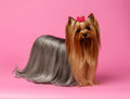 Yorkshire terrier dog with long groomed hair stands on pink background Stock Photo