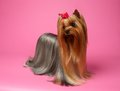 Yorkshire terrier dog with long groomed hair stands on pink background Royalty Free Stock Photo