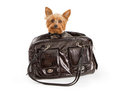 Yorkshire Terrier Dog Luxury Travel Stock Image