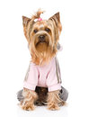 Yorkshire terrier dressed in a tracksuit isolated on white back Royalty Free Stock Photo