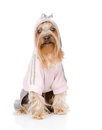 Yorkshire terrier dressed in a tracksuit on white back Stock Photos