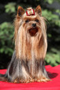 Yorkshire terrier in front of green background sitting on red blanket Stock Images