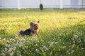 Yorkshire Terrier on green grass Royalty Free Stock Photo