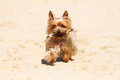 Yorkshire terrier hardworking bring back the staff Royalty Free Stock Images