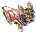 Yorkshire terrier an image of a teacup puppy wearing a shirt Stock Image