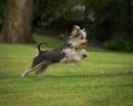 Yorkshire terrier leaping a on a green grassy field Stock Photos