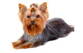 Yorkshire terrier lie in front of white background Stock Images