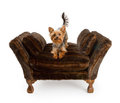 Yorkshire Terrier on a luxury fur chair Royalty Free Stock Images