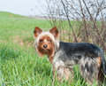 Yorkshire terrier named caesar dog breed home pet dogs Stock Images