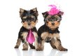 Yorkshire terrier pair lady and gentlemen puppies on a white background Royalty Free Stock Images