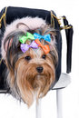 Yorkshire terrier in portable bag Royalty Free Stock Photos