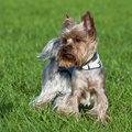 Yorkshire terrier portrait Stock Photography