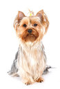 Yorkshire terrier portrait in high key Stock Images