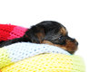 Yorkshire terrier portrait puppy profile isolated white lie inside colorful scarf Royalty Free Stock Photo