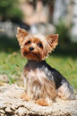 Yorkshire terrier portrait sits and lookinga at camera Stock Photography