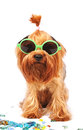 Yorkshire terrier portrait in sunglasses isolated on white cute summer of closeup and looking at camera Royalty Free Stock Image