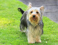 Yorkshire terrier pretty standing on grass Stock Images