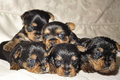 Yorkshire Terrier puppies Royalty Free Stock Photography