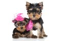 Yorkshire terrier puppies lady and gentlemen posing on a white background Royalty Free Stock Image