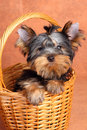 Yorkshire Terrier puppy in a basket Stock Photo