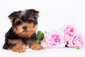 Yorkshire Terrier Puppy with a bouquet of pink flowers