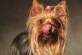 Yorkshire terrier puppy dog licking her nose and crawing  treats Royalty Free Stock Photo