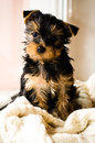Yorkshire Terrier puppy sitting, 3 months old, on white knitted blanket Royalty Free Stock Photo