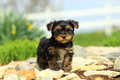 Yorkshire Terrier Puppy Standing on Stone Pathway Royalty Free Stock Photo