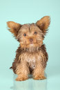 Yorkshire Terrier puppy standing in studio looking inquisitive g Royalty Free Stock Photo