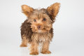 Yorkshire Terrier puppy standing in studio looking inquisitive w Royalty Free Stock Photo