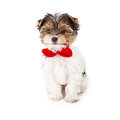 Yorkshire Terrier Puppy Wearing Red Bow Tie Stock Photo