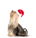 Yorkshire Terrier In Red Santa...