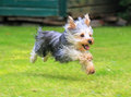 Yorkshire terrier running on grass with its paws not touching the ground Royalty Free Stock Image