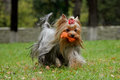 Yorkshire Terrier with silky hair playing with toy Royalty Free Stock Photo