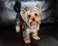 Yorkshire terrier is sitting on the black sofa Royalty Free Stock Photo