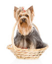 Yorkshire terrier sitting in front isolated on white background Royalty Free Stock Photography