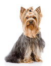 Yorkshire terrier sitting in front isolated on white background Royalty Free Stock Image