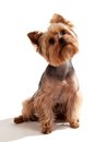 Yorkshire Terrier, sitting and looking at camera Royalty Free Stock Image