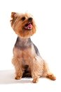 Yorkshire Terrier, sitting and looking at camera Royalty Free Stock Photography