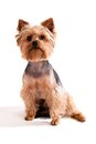 Yorkshire Terrier, sitting and looking at camera Stock Image