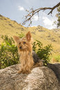 Yorkshire terrier on a stone male dog one year old sit Royalty Free Stock Image